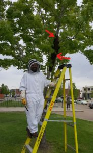 Swarm In Tree, Beekeeper on ladder